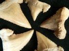 GROWTH SERIES OF SHARK TEETH